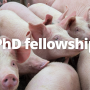 PhD fellowship in active surveillance of antimicrobial resistance in pigs